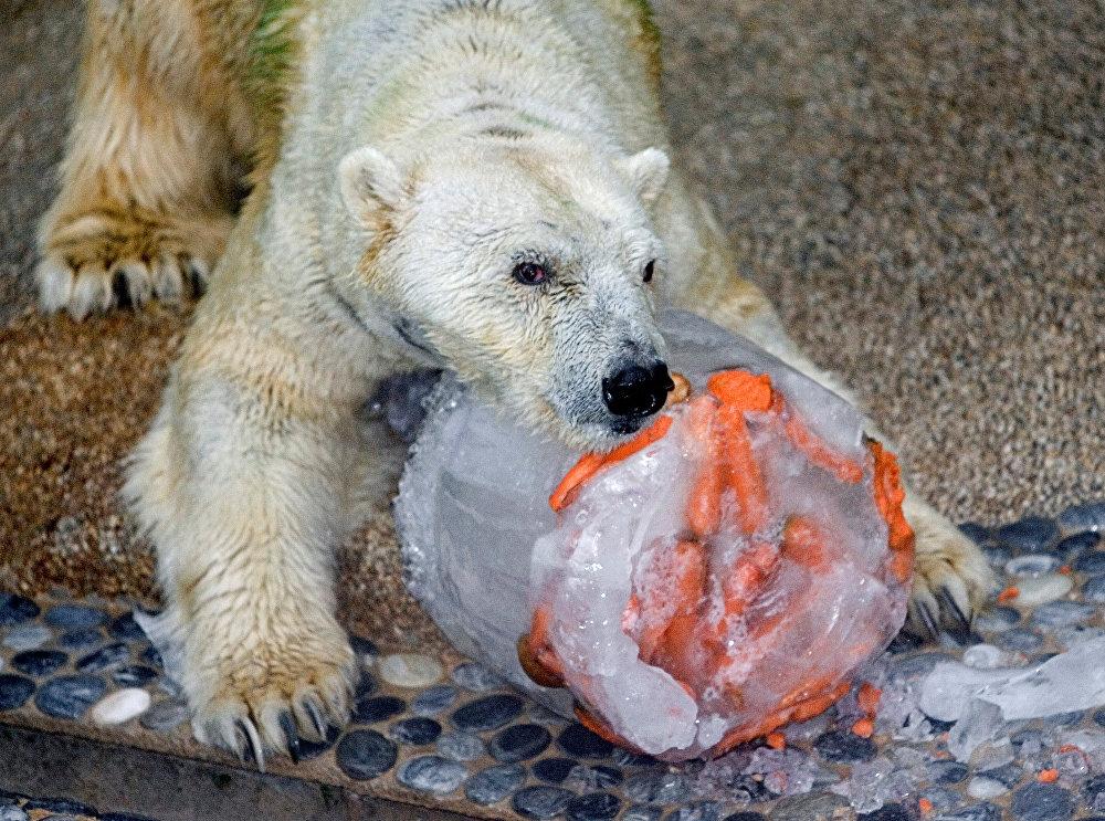 Tropikal bölgede doğan tek kutup ayısı Inuka öldü 2