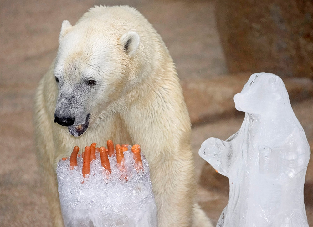 Tropikal bölgede doğan tek kutup ayısı Inuka öldü 5