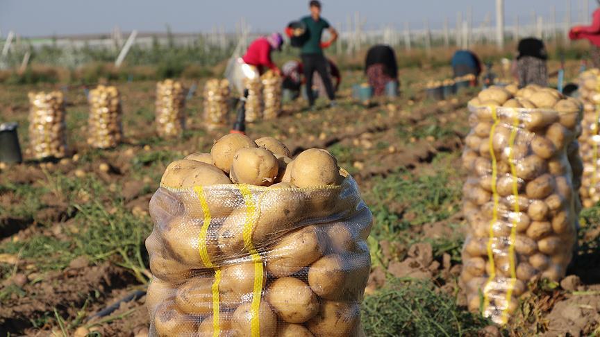 Akşam: Yerli ve milli patates Nahita, dünyaya açılıyor