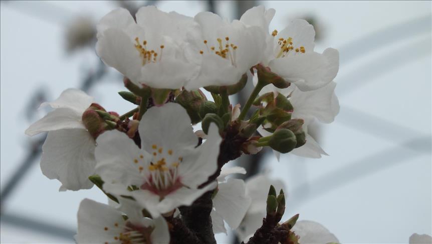 Mersin'de erik ağaçları beyaza büründü