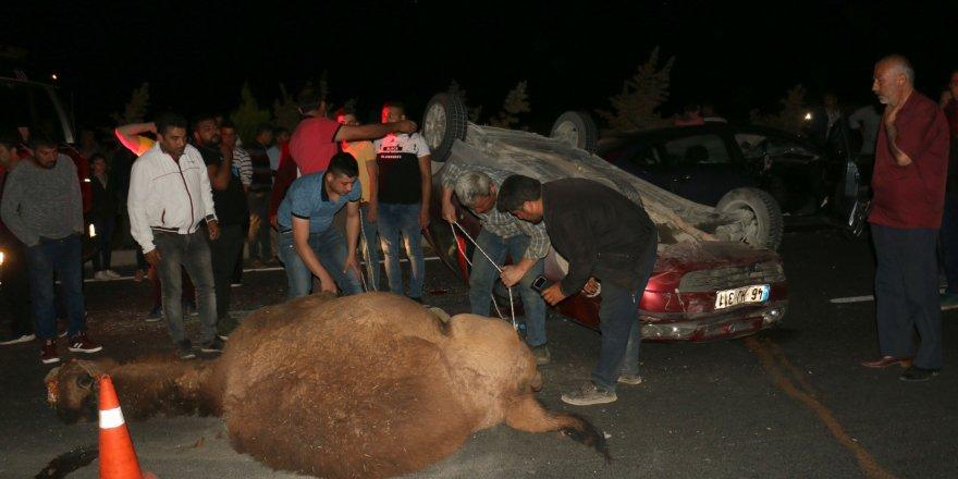 """200 bin liralık deveye araba çarptı, """"Çöl Ağası""""nın telef olduğu kazada 2 kişi yaralandı!"""