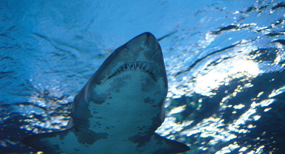 Gökova Körfezi'nde görülen köpekbalığı için uzman yorumları