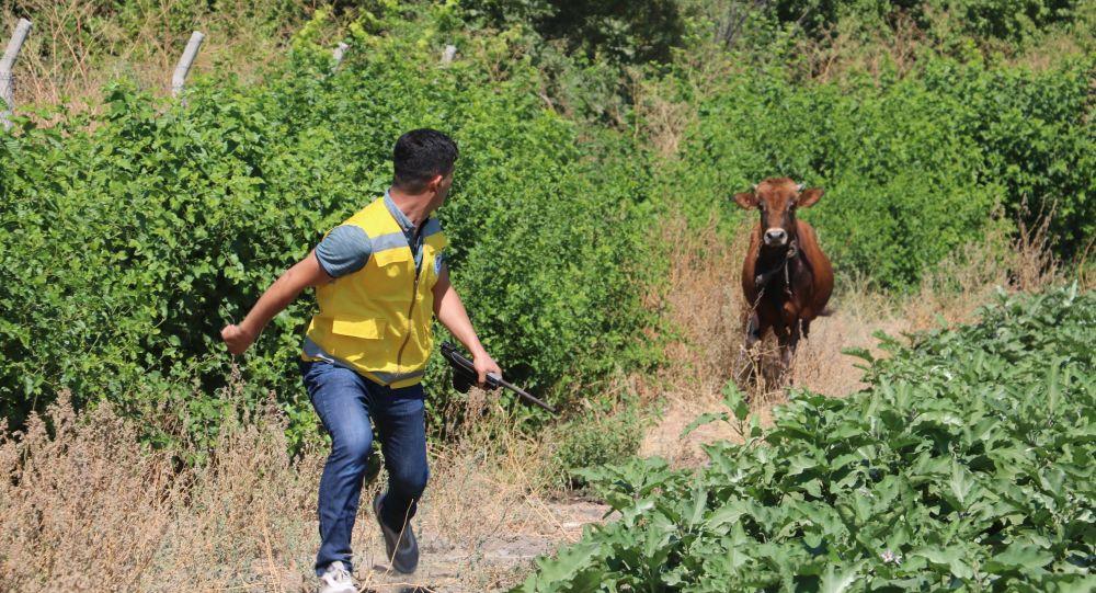 Et ve Süt Kurumu, yetiştiricilerin elinde kalan kurbanlıkları satın alacak