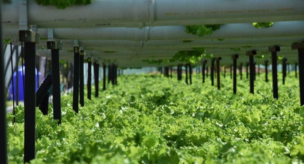 Toprak kullanmadan marul yetiştirmeye başladı, üretim hızı 3 kat arttı