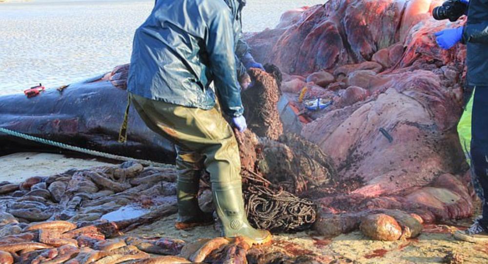Karaya vuran balinanın midesinden 100 kilogram çöp çıktı