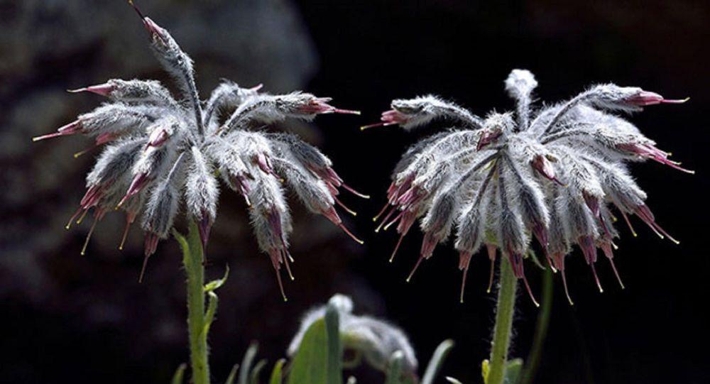 Dünyada sadece Denizli'de bulunan bir bitki türü keşfedildi