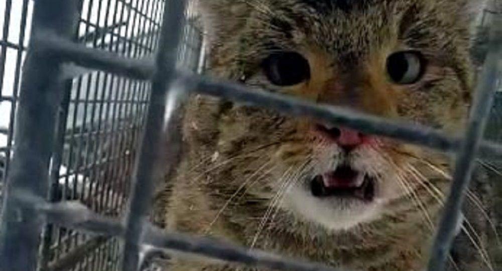 Alabalık çiftliğinin 'hırsız' kedisi, kilo almış halde doğal ortamına bırakıldı