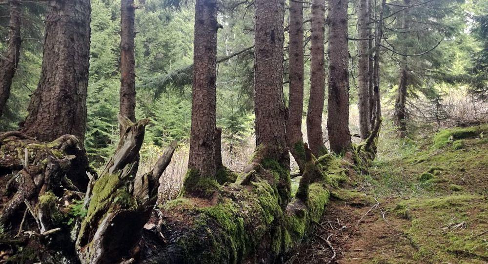 Ordu'da bir ağaç, gövdesinde 17 ağaç büyüttü