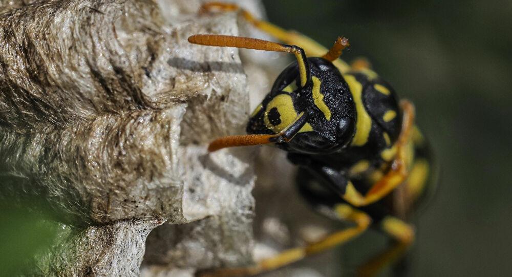 'Katil arı' Türkiye'de bir ilde daha görüldü: 'Ormanlarımız iyice kuruyacak'